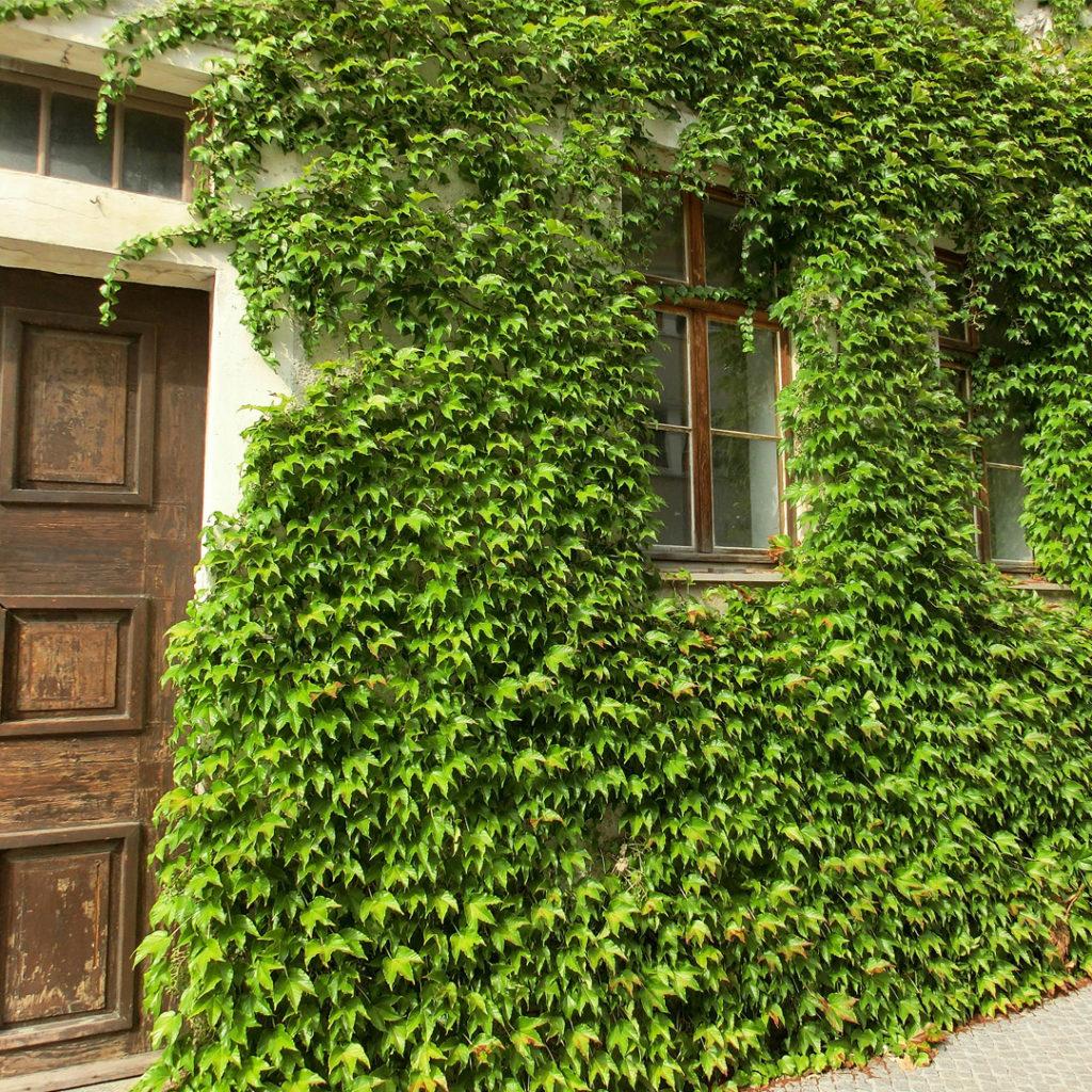 Eine Fassadenbegrünung gegen die sommerliche Hitze im Haus